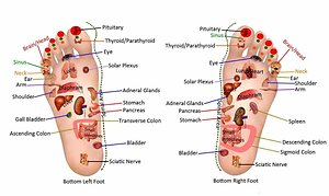 About Reflexology. Links to organs